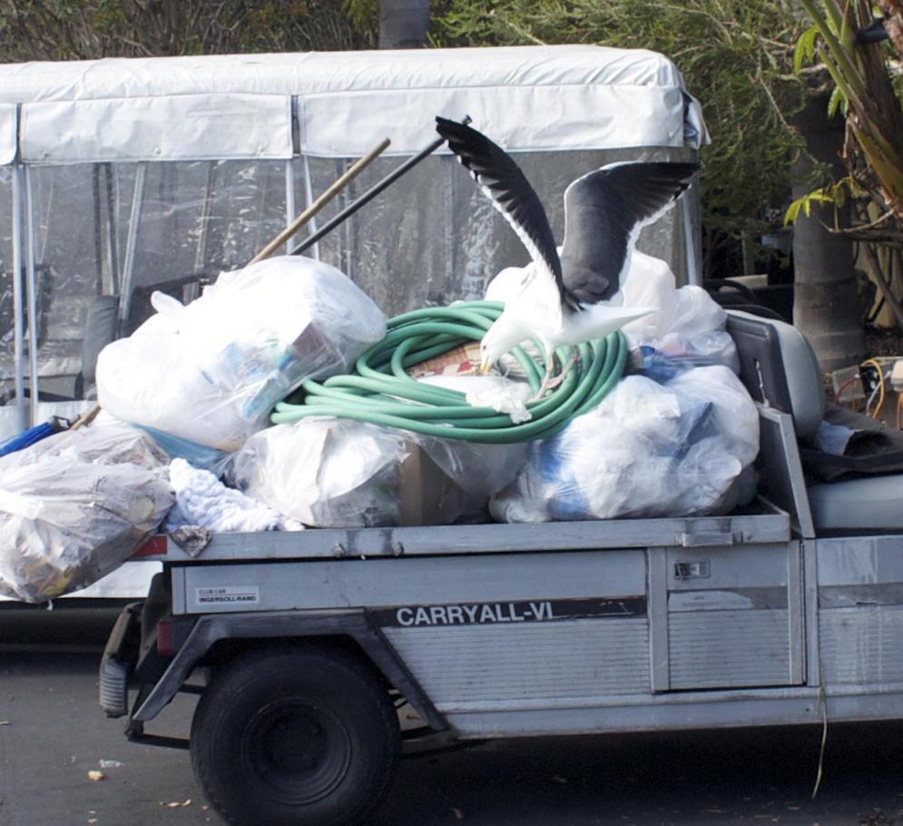Gull picking at scraps